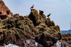 Berlengas - Aves Marinhas, Gaivotas e Corvo Marinho